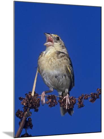 Grasshopper Sparrow Singing, Ammodramus Savannarum, Eastern USA-Joe McDonald-Mounted Photographic Print