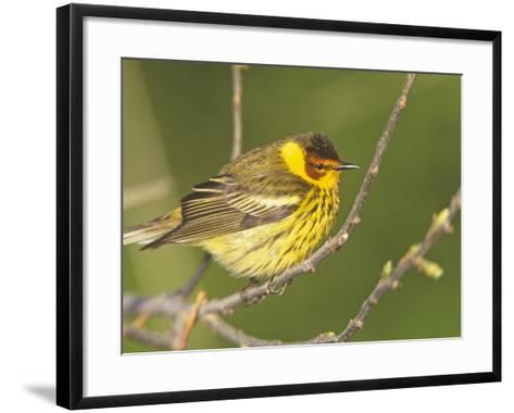 Cape May Warbler, Dendroica Tigrina, Eastern USA-Arthur Morris-Framed Art Print