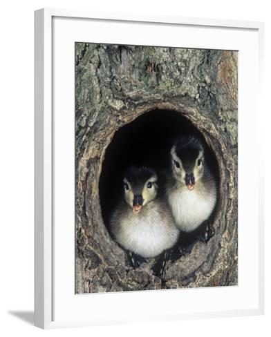 Two Wood Duck Young Peering from their Nest Hole in a Tree, Aix Sponsa, North America-Joe McDonald-Framed Art Print