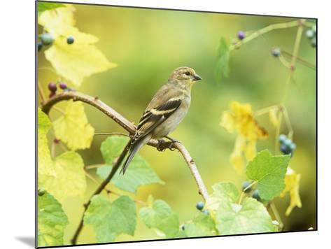 American Goldfinch in the Fall (Carduelis Tristis), North America-Steve Maslowski-Mounted Photographic Print