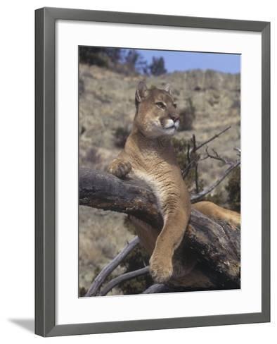 Mountain Lion, Cougar, or Puma (Felis Concolor), Western North America-Tom Walker-Framed Art Print