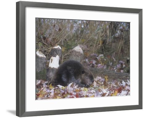 Beaver Next to Recently Felled Trees, Castor Canadensis, North America-Bill Banaszewski-Framed Art Print