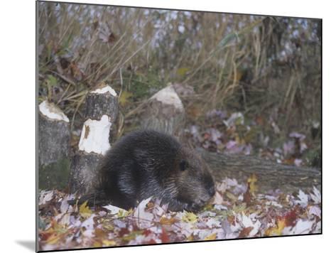 Beaver Next to Recently Felled Trees, Castor Canadensis, North America-Bill Banaszewski-Mounted Photographic Print