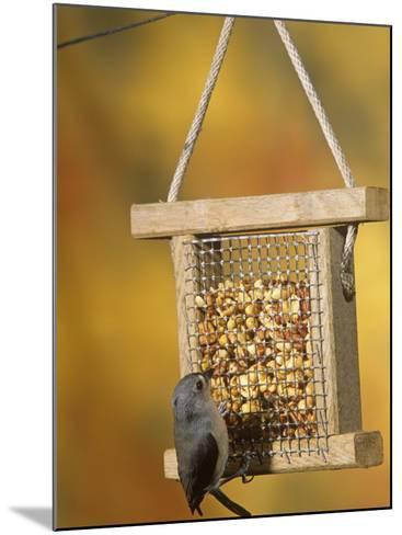 Tufted Titmouse (Parus Bicolor) Feeding at a Nut Feeder, North America-Steve Maslowski-Mounted Photographic Print