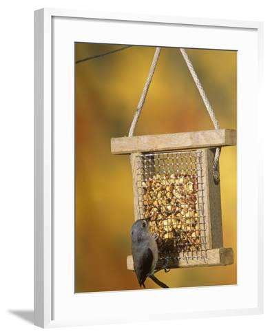 Tufted Titmouse (Parus Bicolor) Feeding at a Nut Feeder, North America-Steve Maslowski-Framed Art Print