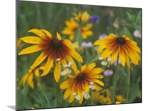 Gloriosa Daisy, Rudbeckia Gloriosa, Asteraceae, North America-Adam Jones-Mounted Photographic Print