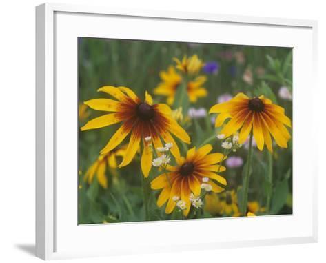 Gloriosa Daisy, Rudbeckia Gloriosa, Asteraceae, North America-Adam Jones-Framed Art Print