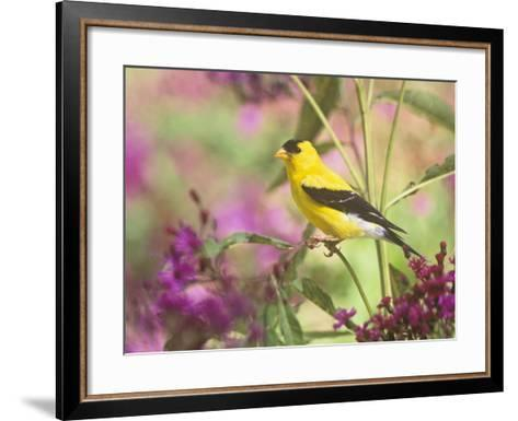 Male American Goldfinch (Carduelis Tristis) on Ironweed (Veronia). North America-Steve Maslowski-Framed Art Print