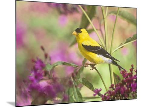 Male American Goldfinch (Carduelis Tristis) on Ironweed (Veronia). North America-Steve Maslowski-Mounted Photographic Print