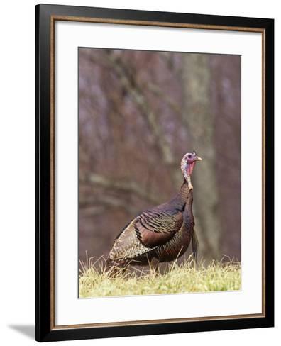 Wild Turkey Gobbler (Meleagris Gallopavo), North America-Steve Maslowski-Framed Art Print