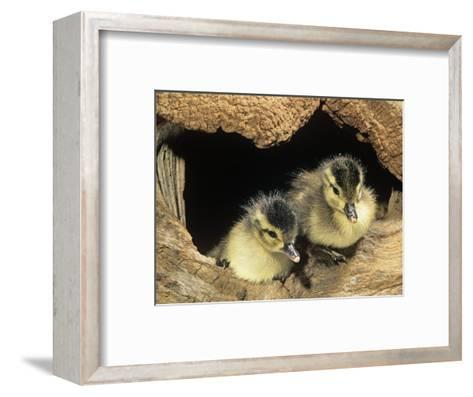 Two Wood Duck Young in their Nest Hole (Aix Sponsa), North America-Steve Maslowski-Framed Art Print