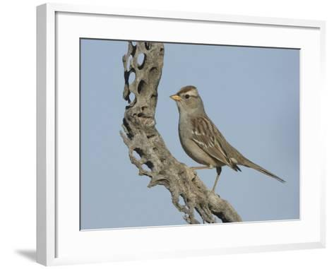 White-Crowned Sparrow Immature on a Cholla Cactus Skeleton (Zonotrichia Leucophrys), Arizona, USA-Charles Melton-Framed Art Print