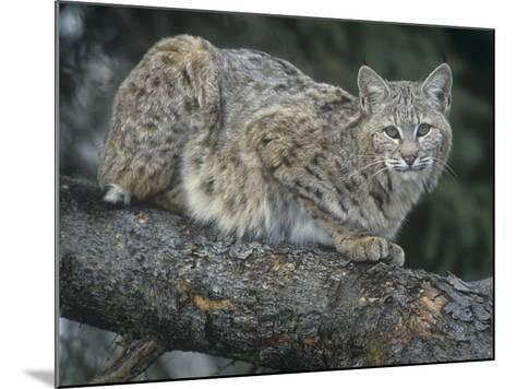 Bobcat, Lynx Rufus, North America-Joe McDonald-Mounted Photographic Print