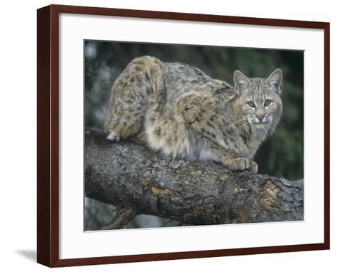 Bobcat, Lynx Rufus, North America-Joe McDonald-Framed Art Print