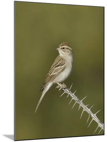 Chipping Sparrow in Winter Plumage (Spizella Passerina) Perched on an Ocotillo Branch, Arizona, USA-Charles Melton-Mounted Photographic Print