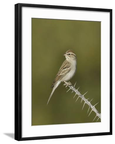 Chipping Sparrow in Winter Plumage (Spizella Passerina) Perched on an Ocotillo Branch, Arizona, USA-Charles Melton-Framed Art Print