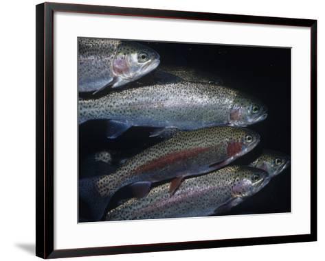 Rainbow Trout or Steelhead (Oncorhynchus Mykiss), California, USA-Ken Lucas-Framed Art Print