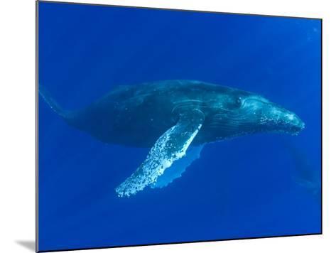 Humpback Whale (Megaptera Novaeangliae), Hawaii, USA-David Fleetham-Mounted Photographic Print