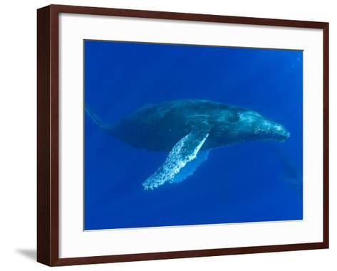 Humpback Whale (Megaptera Novaeangliae), Hawaii, USA-David Fleetham-Framed Art Print