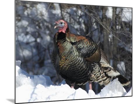 Wild Turkey (Meleagris Gallopavo)-Tom Walker-Mounted Photographic Print
