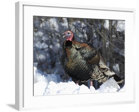 Wild Turkey (Meleagris Gallopavo)-Tom Walker-Framed Art Print