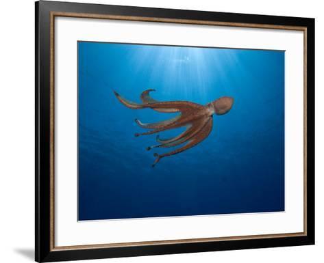 Day Octopus Swimming (Octopus Cyanea), Hawaii, USA-David Fleetham-Framed Art Print