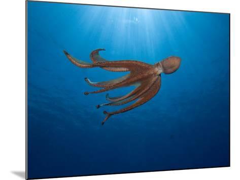 Day Octopus Swimming (Octopus Cyanea), Hawaii, USA-David Fleetham-Mounted Photographic Print