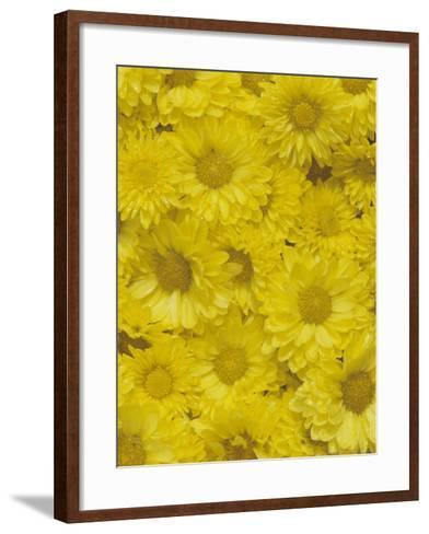 Yellow Garden Chrysanthemums-Adam Jones-Framed Art Print
