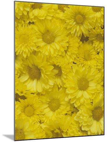 Yellow Garden Chrysanthemums-Adam Jones-Mounted Photographic Print