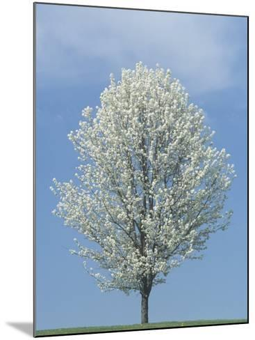 Bradford Pear in Full Bloom Against a Blue Sky-Adam Jones-Mounted Photographic Print