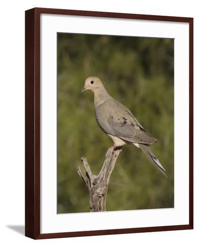 Mourning Dove (Zenaida Macroura) on a Snag, North America-Charles Melton-Framed Art Print