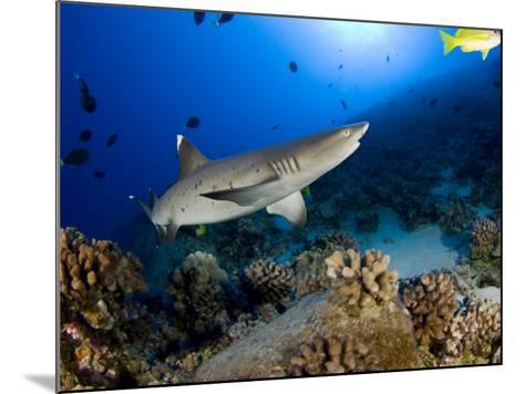 Whitetip Reef Shark (Triaenodon Obesus), Hawaii, USA-David Fleetham-Mounted Photographic Print
