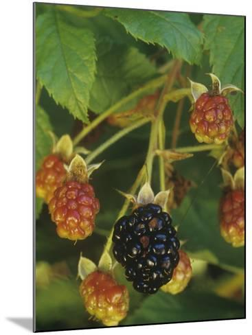 Ripe and Ripening Berries of the Highbush Blackberry, Rubus Allegheniensis, Eastern North America-Joe McDonald-Mounted Photographic Print