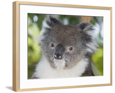 Koala Head (Phascolarctos Cinereus), Australia-David Fleetham-Framed Art Print