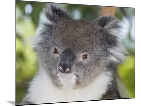 Koala Head (Phascolarctos Cinereus), Australia-David Fleetham-Mounted Photographic Print