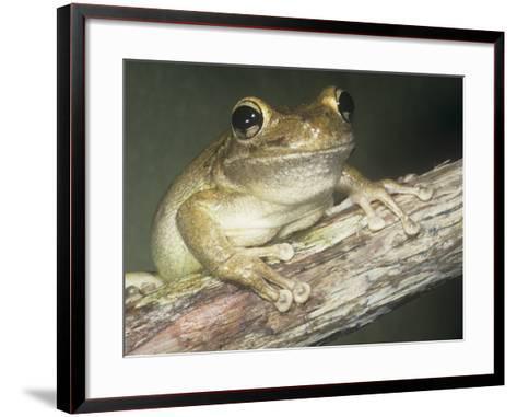 Cuban Treefrog, Osteopilus Septentrionalis, Cuba and an Introduced Species in Florida, USA-Joe McDonald-Framed Art Print