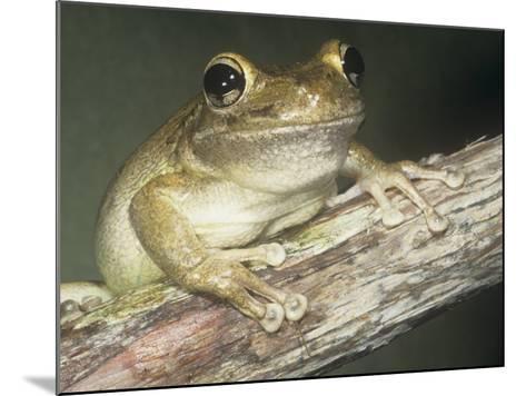 Cuban Treefrog, Osteopilus Septentrionalis, Cuba and an Introduced Species in Florida, USA-Joe McDonald-Mounted Photographic Print