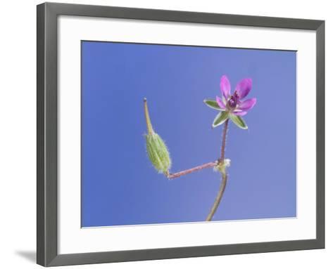 Storksbill Flower and Seed Pod-Solvin Zankl-Framed Art Print
