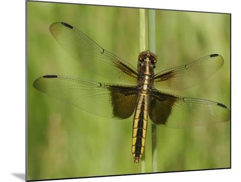 Widow Skimmer Dragonfly (Libellula Luctuosa)-Robert Servrancky-Mounted Photographic Print