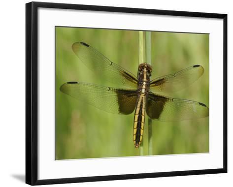 Widow Skimmer Dragonfly (Libellula Luctuosa)-Robert Servrancky-Framed Art Print