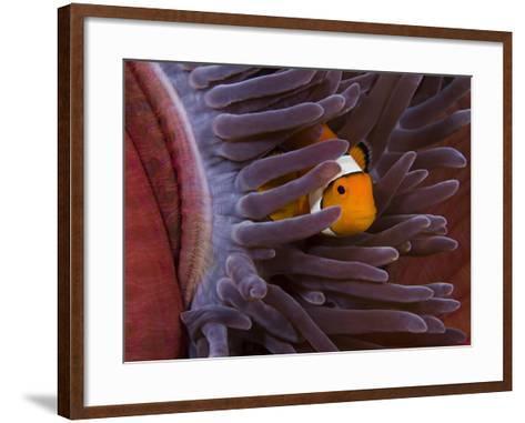 Clown Anemonefish (Amphiprion Percula) in a Sea Anemone (Heteractis Magnifica), Indonesia-David Fleetham-Framed Art Print