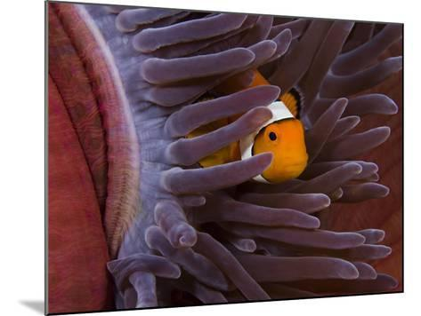 Clown Anemonefish (Amphiprion Percula) in a Sea Anemone (Heteractis Magnifica), Indonesia-David Fleetham-Mounted Photographic Print
