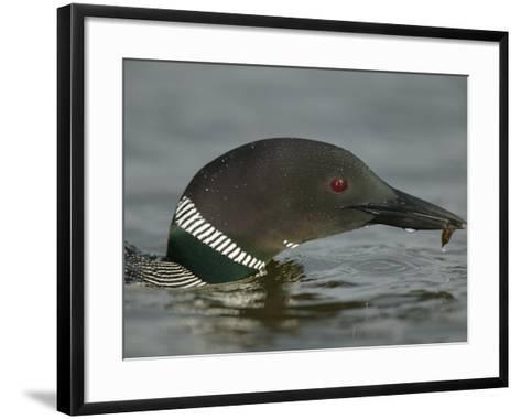 Common Loon Eating (Gavia Immer) North America-Arthur Morris-Framed Art Print