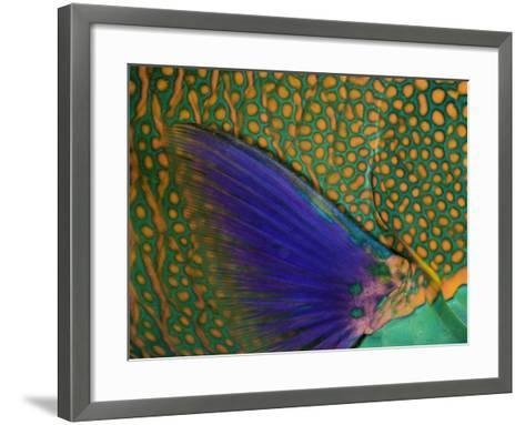 A Bicolor Parrotfish (Cetoscarus Bicolor) Sleeping at Night. Indonesia-David Fleetham-Framed Art Print