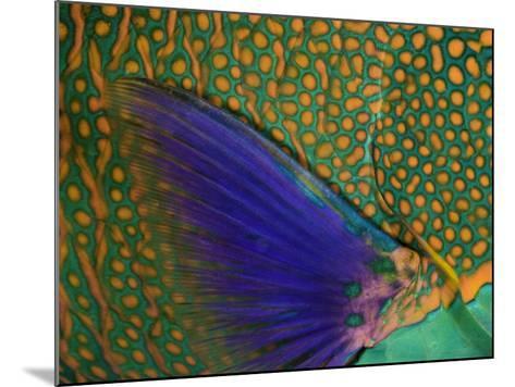 A Bicolor Parrotfish (Cetoscarus Bicolor) Sleeping at Night. Indonesia-David Fleetham-Mounted Photographic Print