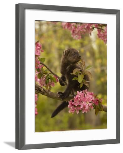 Fisher, Martes Pennanti, Juvenile in a Flowering Tree, North America-Jack Michanowski-Framed Art Print