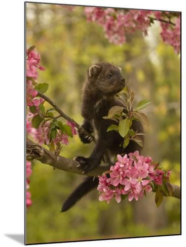 Fisher, Martes Pennanti, Juvenile in a Flowering Tree, North America-Jack Michanowski-Mounted Photographic Print