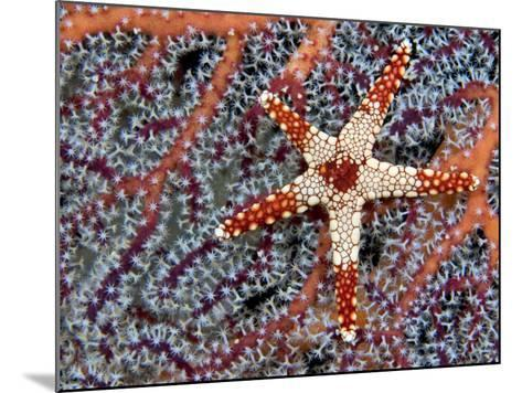 A Necklace Seastar (Fromia Monilis) on a Gorgonian Coral, Indonesia-David Fleetham-Mounted Photographic Print