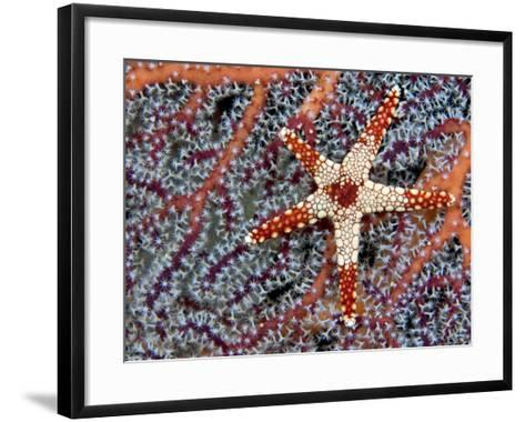 A Necklace Seastar (Fromia Monilis) on a Gorgonian Coral, Indonesia-David Fleetham-Framed Art Print