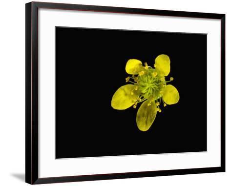 Wood Avens Flower-Solvin Zankl-Framed Art Print